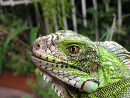 Iguana by Andres-Morales