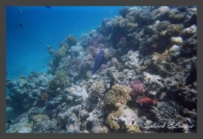 Coral ref in da Red Sea by Sedeeck