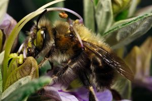 Hairy Footed Bee II by dalantech