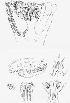 skull studies by SwarzezTier