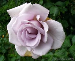 Pale Purple Rose 092 by Eolhin