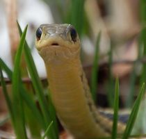Garter Snake 01 by WhisperintheStorm