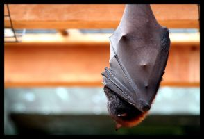 Flying Fox by darthpayback