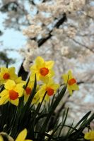 Daffodils and cherry blossoms by RuckMonkeyPhotos