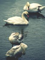 swans by xmagdax