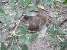 field mouse by Lucy-Redgrave