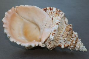 Sea shell Stock 072 by Malleni-Stock