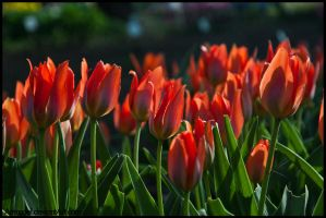 First Tulips by amrodel
