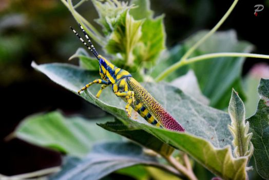 amazing colored grasshopper by paramveersingh1