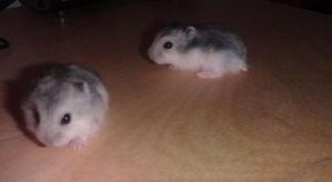 Baby Hamsters by Melika1991