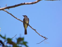 Gray kingbird ii by LoliCanoli