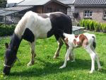 Fay with Toby - Newborn Colt - 0 days old by Horselover60-Stock