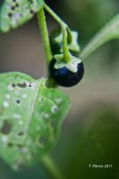 Black-Eyed Susan Vine Seedling by thriftyredhead