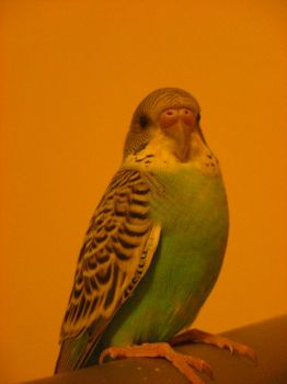 budgie4 by crystina20s