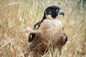 Peregrine Falcon in grass by copperarabian