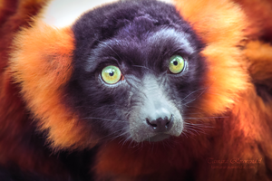 Intense Lemur by TammyPhotography
