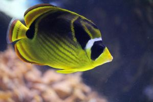 Raccoon Butterflyfish 2 by firenze-design