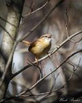 Carolina Wren by UncleBrisket