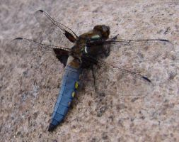 Broad-bodied Chaser by Gorgosaurus
