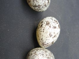 Bird Eggs Stock by moonfreak-stock