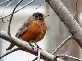 Robin in the winter by Nipntuck3