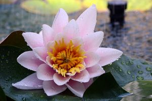 Pink waterlily by 14th-division