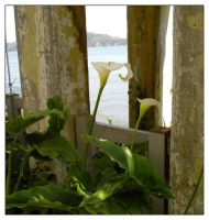 Calla Lilies of Alcatraz by jeepgurl8204
