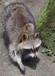 Racoon by Parides