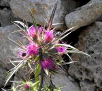 Horse Thistle by floramelitensis