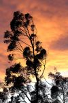 Sunset, Eucalyptus In The Wind by aegiandyad