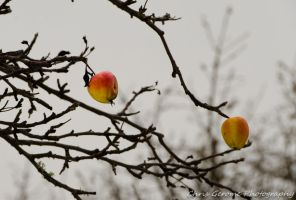 Winter Apples by rome99