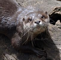 otter by Blue-Bell95