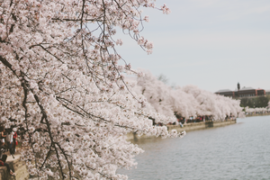 Cherry Blossoms by Grace-like-rainx
