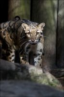 Clouded Leopard 6 LP012208 by hoboinaschoolbus