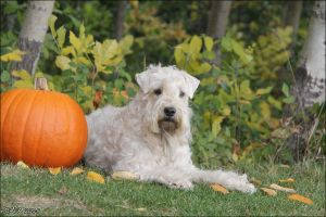 Pumpkin and Wheaten by Bafa