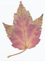 red and yellow maple leaf back by tash11-stock