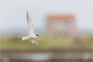 Common Tern and old house. by ClaudeG
