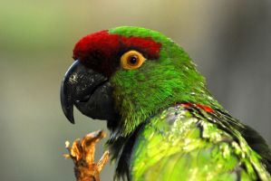 Thick-Billed Parrot by Shadow-and-Flame-86