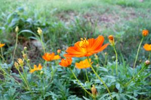 orange flower 01 by Darkside0326