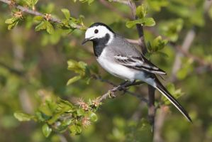 ... white wagtail... by Ulliart