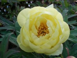 Yellow Peony I by Bwabbit