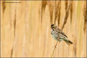 Savannah sparrow singing by gregster09