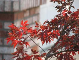 Japanese Maple in the fall... by xxStarpelt