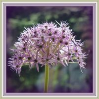 Allium by bandsix