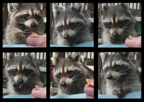 Mama Fratelli the Raccoon by crokittycats