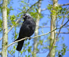 Jackdaw by priwax