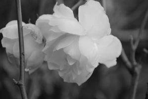 Black and white roses by Izzy-Nightshade