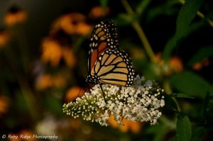 Butterfly I by RobyRidge