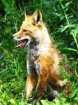 Red Fox 2 by Teh-Pandacoon