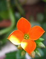 Orange Flower by Holly6669666
